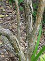 Carpenteria californica 1 2011.JPG