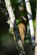 Carpintero Café, Smoky Brown Woodpecker, Veniliornis fumigatus (11703437236).jpg