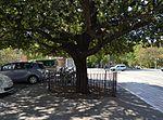 Carrasca de l'avinguda d'Aragó de València.JPG