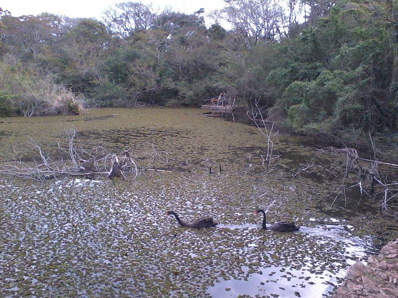 Ficheiro:Casal de cisnes no lago do Jardim Botânico de Porto Alegre - RS 2012-07-22 15.16.30.jpg