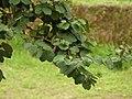 Casco de buey (Bauhinia variegata) (14282914781).jpg