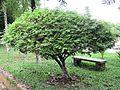 Cassia favanica (Pink shower) tree in RDA, Bogra 02.jpg