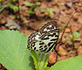 Castalius rosimon - Common Pierrot on the hostplant Ziziphus oenoplia - Jackal Jujube 02.JPG
