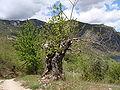 Castanea sativa.004 - Serra de Enciña de Lastra.JPG