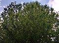 Castanea sativa en Tejedo de Ancares.jpg