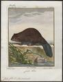 Castor fiber - 1700-1880 - Print - Iconographia Zoologica - Special Collections University of Amsterdam - UBA01 IZ20400207.tif