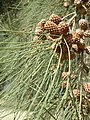 Casuarina cunninghamiana fruit and leaves01.jpg
