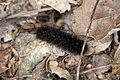 Caterpillar - Flickr - GregTheBusker (2).jpg