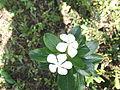 Catharanthus roseus-4-yercaud-salem-India.JPG