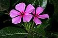Catharanthus roseus 1296.jpg