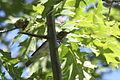 Catharus ustulatus, Fingerlakes National Forest, New York.jpg