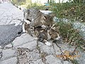 Cats mating on Acropolis hill..JPG