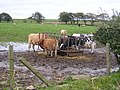 Cattle Feeding Near Cladance Farm - geograph.org.uk - 79563.jpg