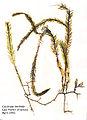 Caulerpa taxifolia gepresst.jpg