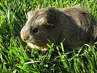 Cavy eating grass.jpg