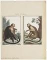 Cebus hypoleucus - 1700-1880 - Print - Iconographia Zoologica - Special Collections University of Amsterdam - UBA01 IZ20200152.tif