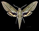 Cechenena pollux MHNT CUT 2010 0 153 Dairi (Diehl) Sumatra male dorsal.jpg