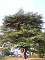 Cedar tree - panoramio.jpg