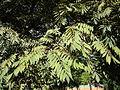 Cedrela fissilis foliage.jpg