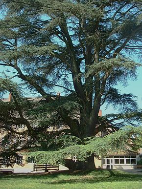 Description de l'image Cedrus_atlantica.jpg.