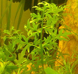Ceratopteris cornuta in aquarium alone.jpg