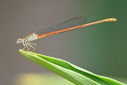 Ceriagrion glabrum male on leaf.jpg