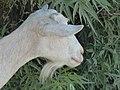 Chèvre blanche sans cornes en Crète 02.jpg