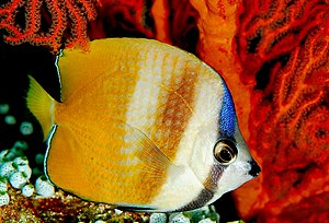Butterfly Fish is common to see in coral reef ...