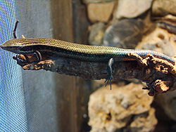 Chalcides sexlineatus (Wroclaw zoo)-1.JPG