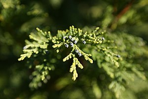 Chamaecyparis lawsoniana: Male flower heads