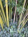 Chaume de bambou bamboo stalk VAN DEN HENDE ALAIN CC BY SA 40 02004.jpg