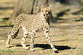 Cheetah Looking Alert (21386842443).jpg