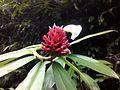 Cheilocostus speciosus white flower.jpg