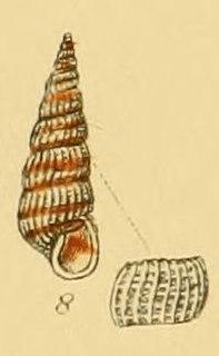 <i>Pyrgiscus rufescens</i> species of mollusc