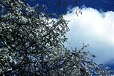 Cherry-tree-blooming-sky.jpg