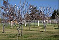Cherry Trees and Horsers, Cherry Valley 3-23-13 (8594875617).jpg