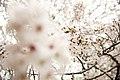Cherry blossom, Japan; March 2013 (09).jpg