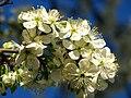 Cherry blossom (Cerasus) 17.JPG