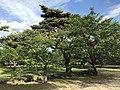 Cherry trees in Hagi Castle.jpg