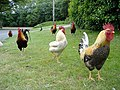 Chickens at Rushen Abbey, Isle of Man - geograph.org.uk - 188910.jpg