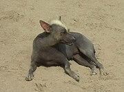 Hairless dog - Trujillo, Peru