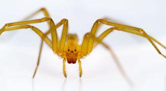 Chilean recluse spider - Immature male