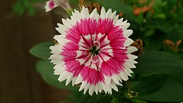 China Pink (Dianthus chinensis) 6.jpg