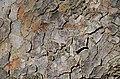 Chinese Elm Ulmus parvifolia (32-0052-A) Bark 1.JPG