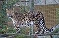 Chinesischer Leopard Panthera pardus japonensis Tierpark Hellabrunn-5.jpg