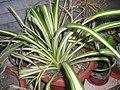Chlorophytum comosum Variegatum.jpg