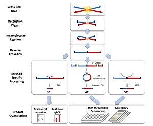 Chromosome conformation capture - Chromosome Conformation Capture Technologies