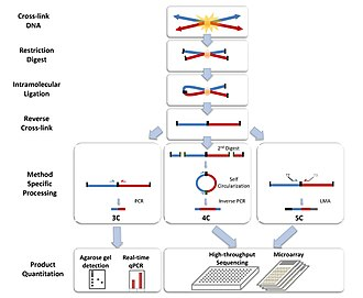 Chromosome conformation capture - Chromosome Conformation Capture Technologies