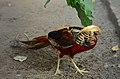 Chrysolophus pictus (male), Lahore Zoo - 12.jpg