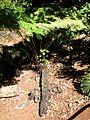 Cibotium glaucum (5187384933).jpg